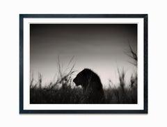 Lion King, Kenya 2017, contemporary, wildlife, b&w photography