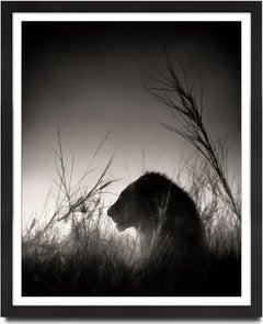 Lion King, Kenya, contemporary, wildlife, b&w photography