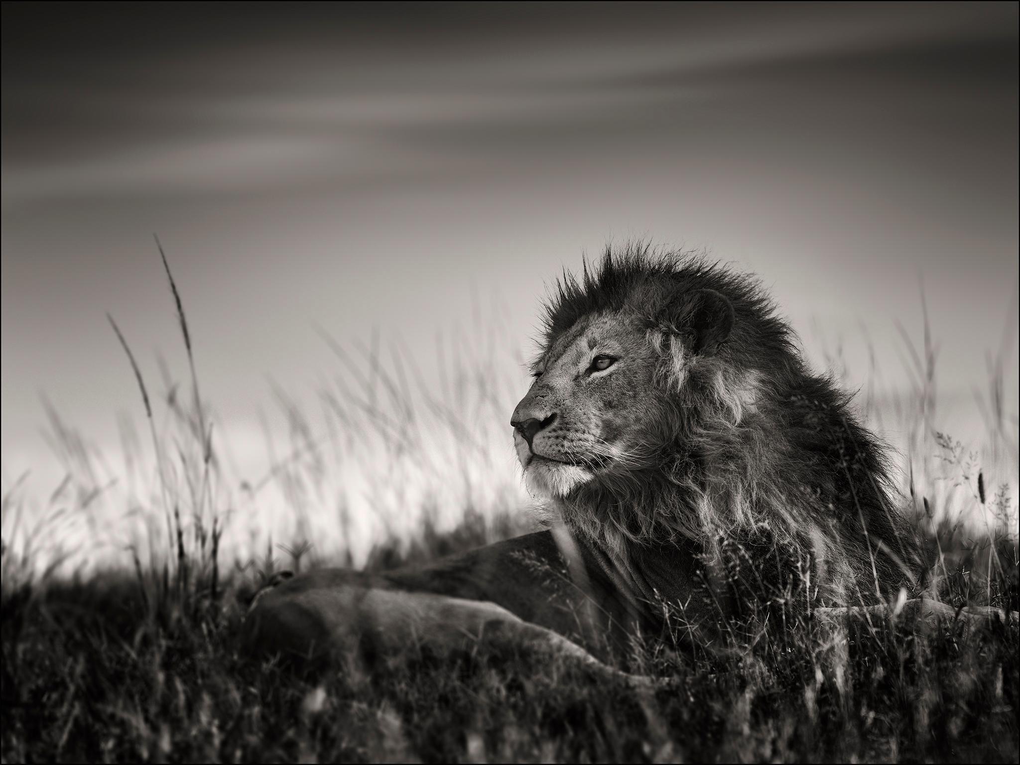 Lion Portrait II, blackandhwite photography, Africa, Portrait, Wildlife