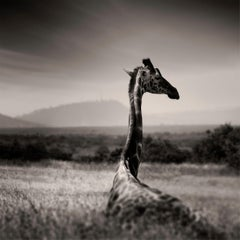 Lying Giraffe, Kenya 2019, contemporary, wildlife, b&w photography