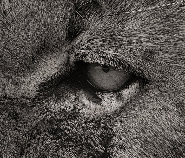Morani, Kenya, Lion, b&w photography, Africa, Portrait - Black Black and White Photograph by Joachim Schmeisser