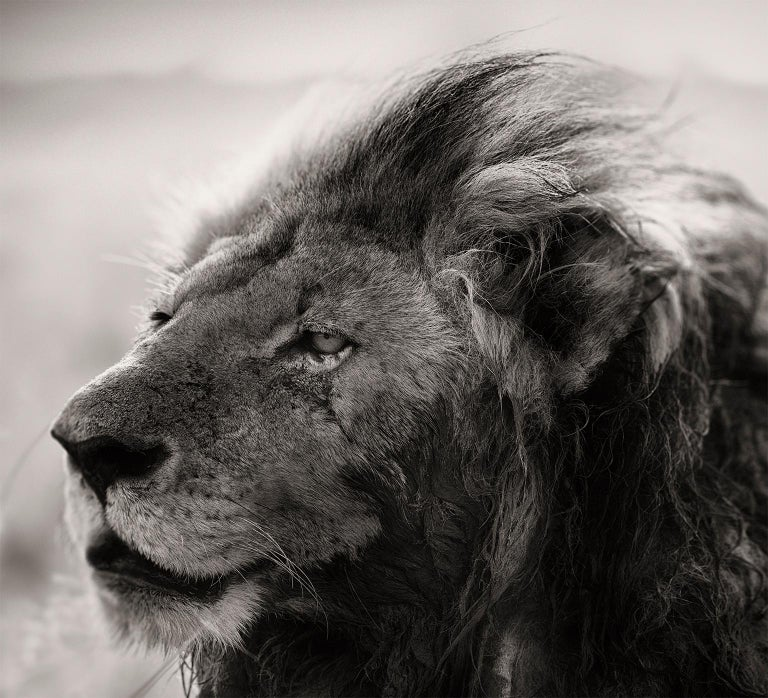 Edition of 7  This iconic Lion is called
