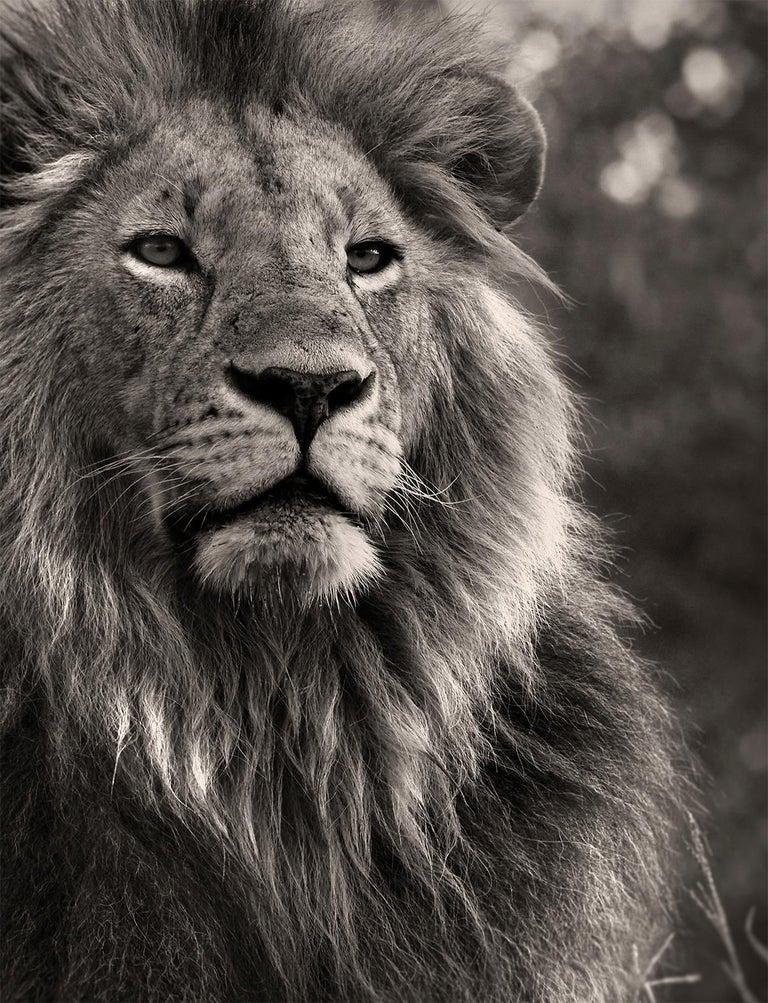 Orbanoti II, Lion, blackandhwite photography, Africa, Portrait, Wildlife - Photograph by Joachim Schmeisser