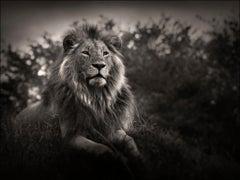 Orbanoti II, Lion, blackandhwite photography, Africa, Portrait, Wildlife