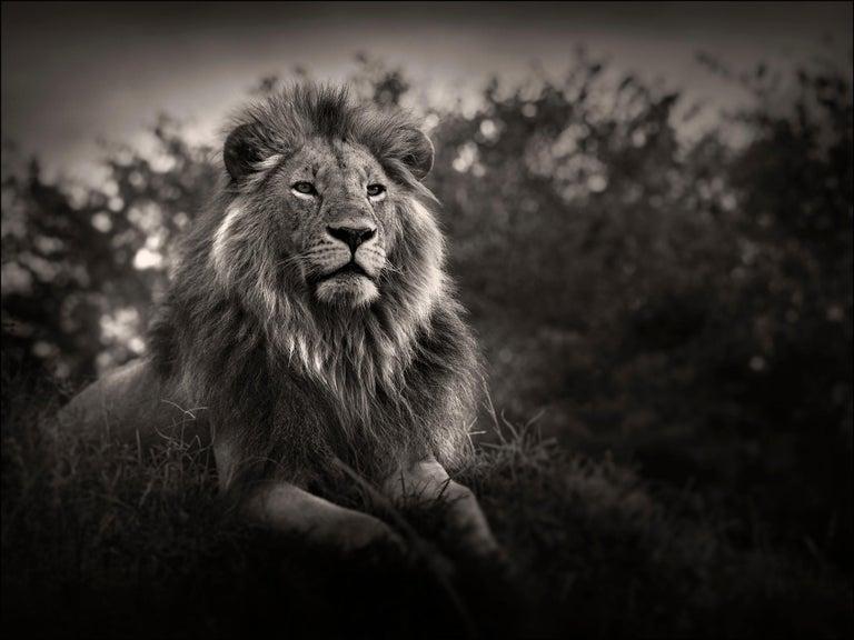 Joachim Schmeisser Portrait Photograph - Orbanoti II, Lion, blackandhwite photography, Africa, Portrait, Wildlife