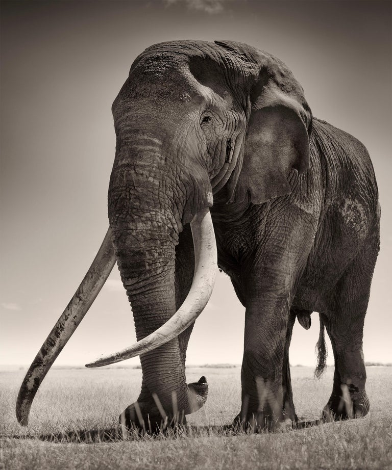 Edition 10 More sizes on request.  Tim is the biggest elephant bull in Amboseli Ecosystem in Kenya. He is one of the last really big tuskers in Africa. His tusks are so long that he has to lift the head when he walks. This intimate encounter with
