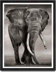 Primo, Kenya, Elephant, b&w photography, wildlife - LAST PIECE