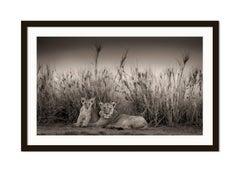 Sarabi + Simba, Kenya 2017, Lion, wildlife, b&w photography