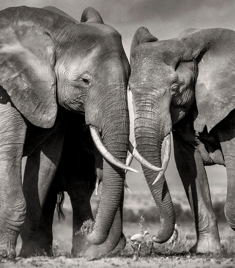 Searching for salt, Kenya, Elephant, Wildlife, landscape, b&w For Sale 1