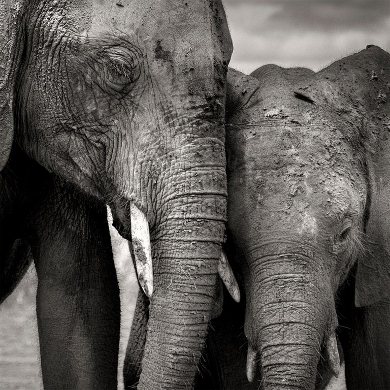 Soulmates, Elephant, black and white photography, wildlife - Gray Black and White Photograph by Joachim Schmeisser