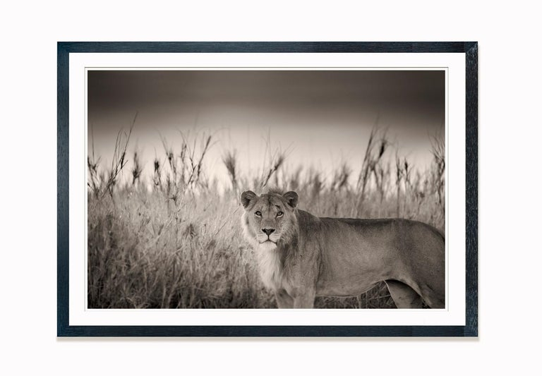 Limited Edition of 5  This encounter happened in the very early dawn. This young male Lion was relaxing in the tall grass after the hunt. Less than 16,000 of those incredible hunters now exist in Africa. A disastrous fall of over 90% in the last 100