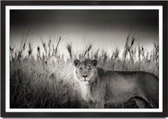 Successor, Kenya, Lion, wildlife, b&w photography