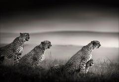 Tano Bora, Cheetah, blackandhwite photography, Africa, Portrait, Wildlife