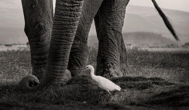 The Bull and the Bird III, Kenya, Elephant, wildlife, b&w photography For Sale 2