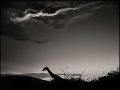 The dark Knight, Kenya 2019, Giraffe, wildlife, b&w photography