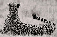 The Divine, Cheetah, blackandhwite photography, Africa, Portrait, Wildlife