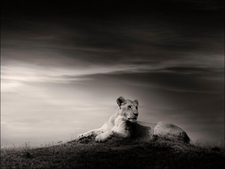 Joachim Schmeisser Portrait Photograph - The Lioness, Lion, blackandhwite photography, Africa, Portrait, Wildlife