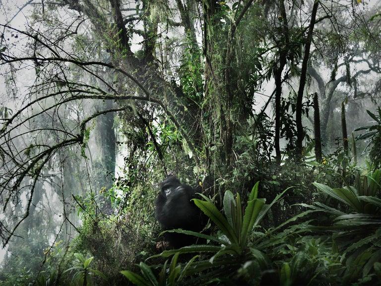 Volcano II, Rwanda, Gorilla, Contemporary, Jungle - Photograph by Joachim Schmeisser
