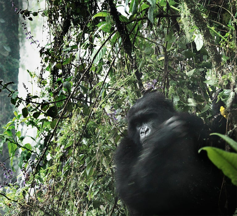 Edition of 5 more sizes on request  A mountain Gorilla in the rainforest in the Volcanoe National Park, Rwanda.  For years, Joachim Schmeisser has been photographing the last giants of Africa at close range, creating exceptionally intimate