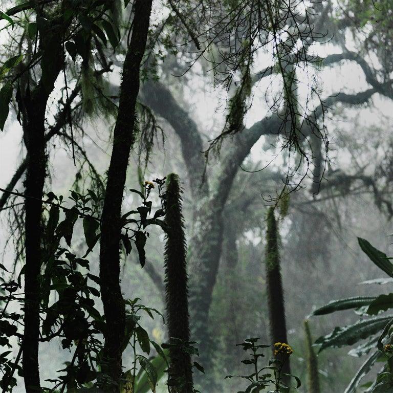 Volcano II, Rwanda, Gorilla, Contemporary, Jungle For Sale 1