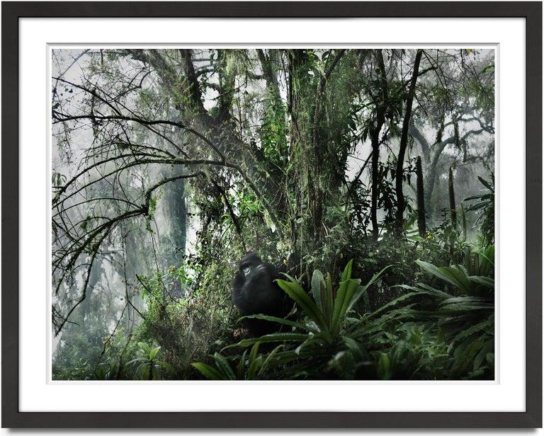 Joachim Schmeisser Black and White Photograph - Volcano II, Rwanda, Gorilla, Contemporary, Jungle