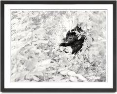 Volcano VI, Rwanda, Gorilla, wildlife, Fine Art Print