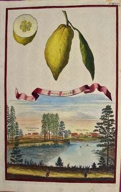 """Early 18th Century Volckamer Hand-colored Engraving of Lemons """"Limon Peretto"""""""