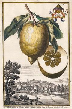 Hand-Colored Lemon Engraving