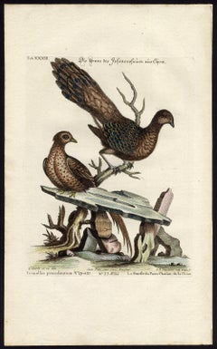 A Chinese Peacock-pheasant by Seligmann - Handcoloured etching - 18th century