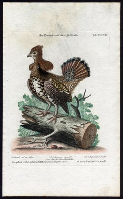 A Grouse (Ruffed Heatch-Cock) by Seligmann - Handcoloured etching - 18th century