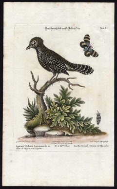 Black and White Butcher-Bird by Seligmann - Handcoloured etching - 18th century