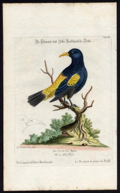 Black and Yellow Daw by Seligmann - Handcoloured etching - 18th century