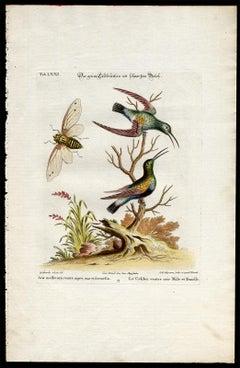 Black-Bellied Green Hummingbird by Seligmann - Handcoloured - 18th century