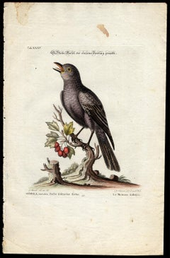 Blue Rock Thrush by Seligmann - Handcoloured etching - 18th century