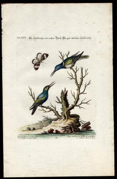 Green and Blue Hummingbird by Seligmann - Handcoloured etching - 18th century