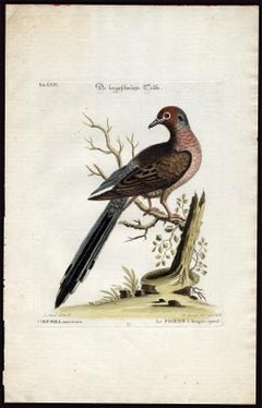 Mourning Dove by Seligmann - Handcoloured etching - 18th century