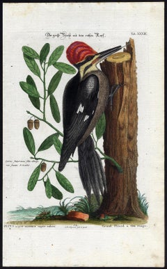 Red-Headed Woodpecker by Seligmann - Handcoloured etching - 18th century