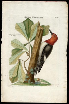 Red-Headed Woodpecker by Seligmann - Handcoloured Engraving - 18th century