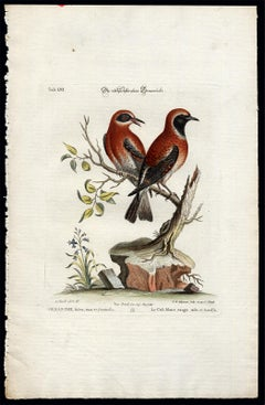 Red Warbler by Seligmann - Handcoloured etching - 18th century