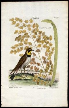 Shore Lark or Horned Lark by Seligmann - Handcoloured etching - 18th century
