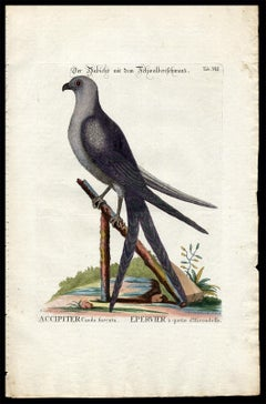 Swallow-Tail Hawk by Seligmann - Handcoloured Engraving - 18th century