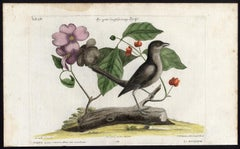 The Grey Catbird by Seligmann - Handcoloured etching - 18th century