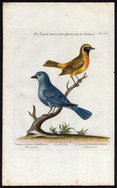 The Sayacu and Guira Guacuberaba by Seligmann - Handcoloured - 18th century