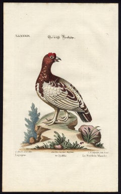 The White Partridge by Seligmann - Handcoloured etching - 18th century