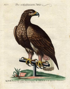 White Tailed Eagle by Seligmann - Handcoloured etching - 18th century