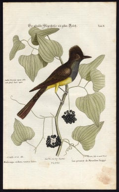 Yellow-Bellied Crested Flycatcher by Seligmann - Handcoloured - 18th century