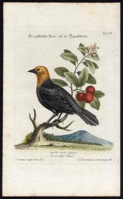Yellow-Headed Blackbird by Seligmann - Handcoloured etching - 18th century