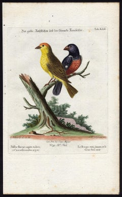 Yellow Red-pole and Black Grosbeak by Seligmann - Handcoloured - 18th century