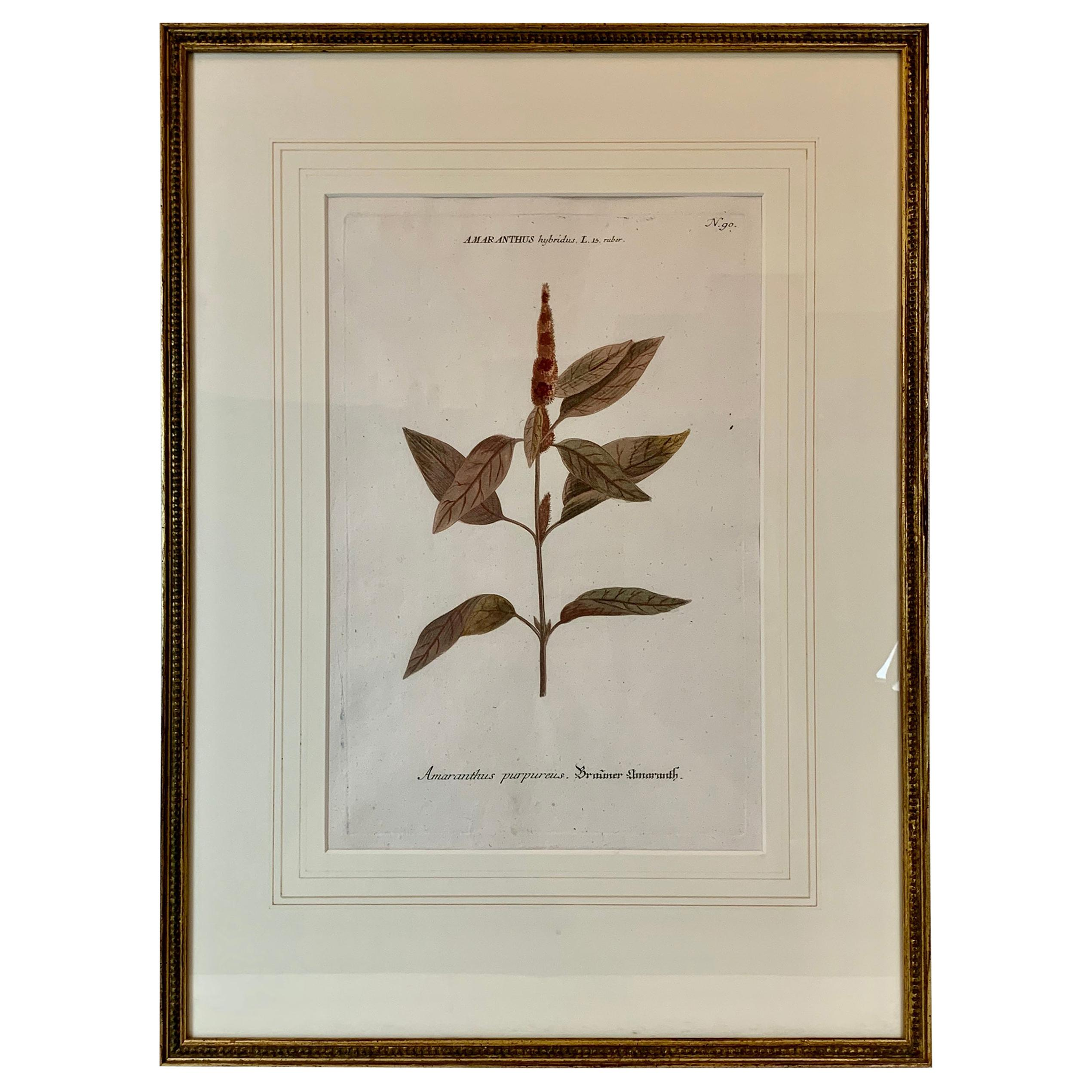 "18th Century Botanical Mezzotint of ""Amaranthus"" by Johann W. Weinmann"