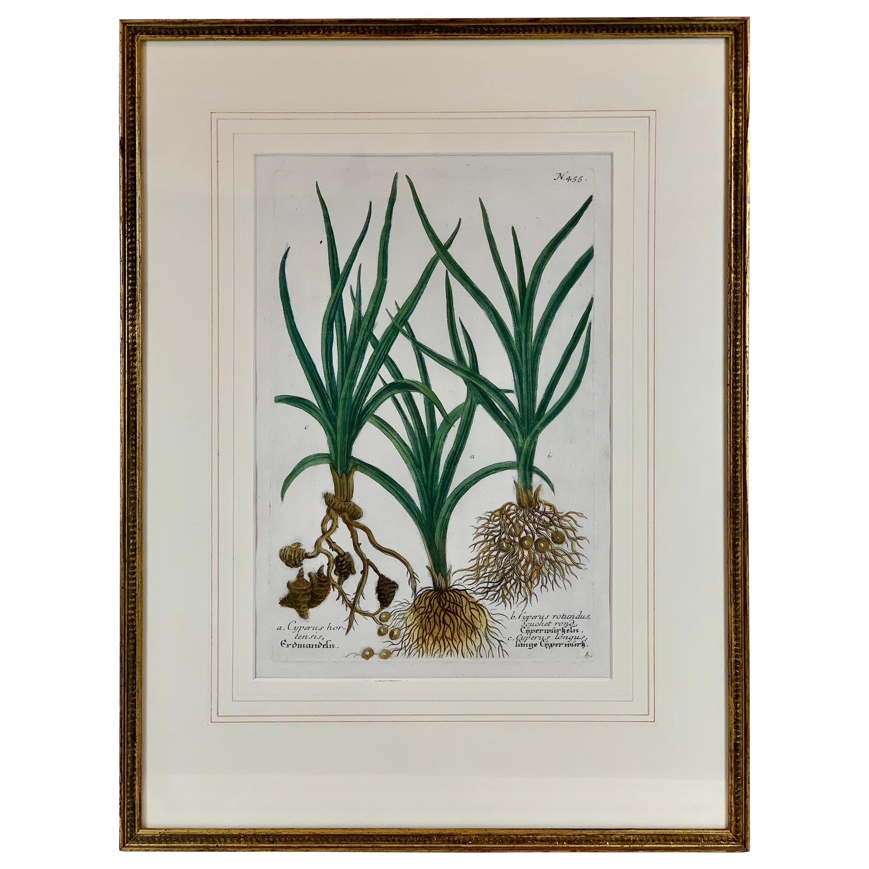 "Botanical Mezzotint of ""Cyperus"", Pl. #455, by Johann W. Weinmann, 1737-1745"